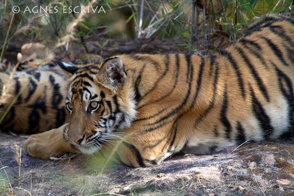 Le repos du jeune tigre 2