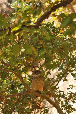 Chouette - brown fish owl