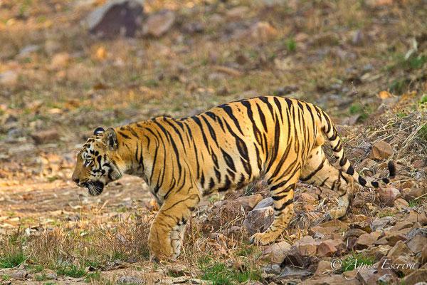 mâle de la zone nord de Tadoba-Andhari (Pandherpauni, TATR) qui vient de prendre une râclée par un autre mâle pour les beaux yeux d'une femelle