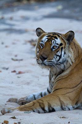 Bamera, le mâle dominant de Tala, Bandhavgarh