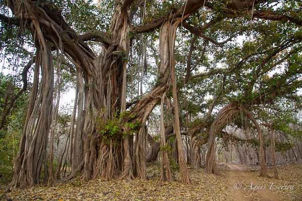 Banyan tree ficus