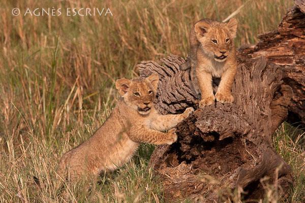 2 des 3 lionceaux de 2 mois, petits de Charm
