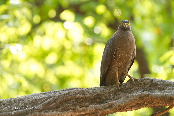 Serpent eagle 2