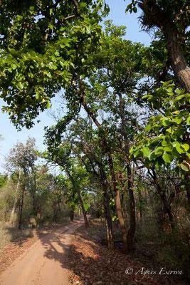 Piste de Bandhavgarh