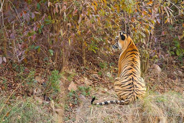 Jeune tigresse
