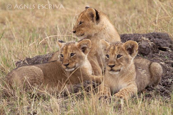3 lionceaux de 2 mois, petits de Charm