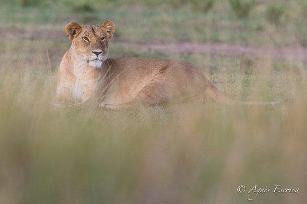Mara - Kenya été 2017