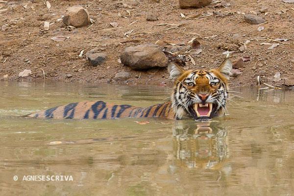 Jeune tigresse au bain, déjà du caractère !