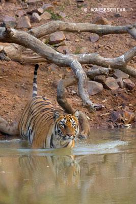 Jeune tigresse rentrant dans l'eau