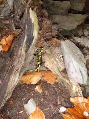 Feuersalamander sind eher zahlreich an warmen Herbsttagen zu finden