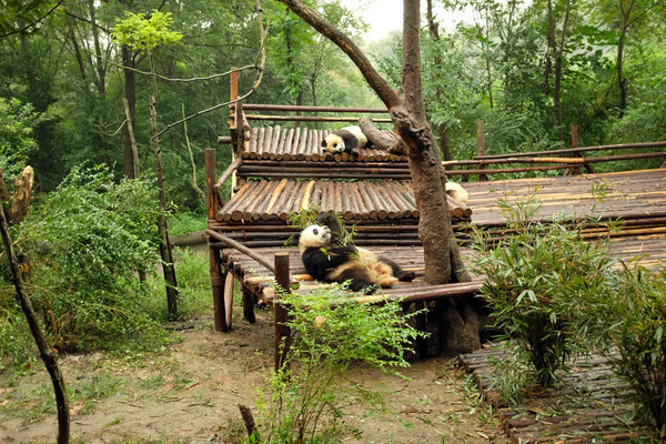 Giant Panda Breeding Chengdu