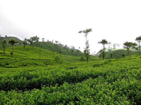 Lipton's Seat hike Dambatenne Tea Plantation Sri Lanka
