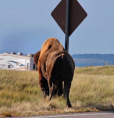 Bison kratzen sich an Schildern im Custer State Park