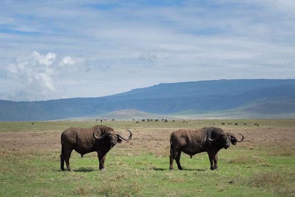 Der Afrikanische Büffer, einer der Big Five