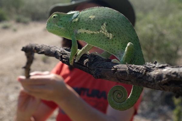Chameleon Wanderung Vingerklip Lodge, Namibia