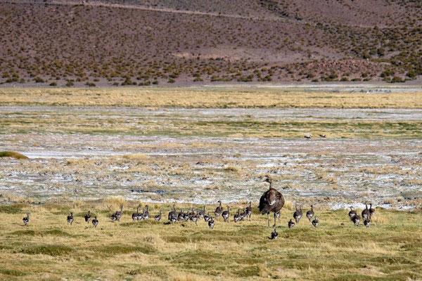 Nandu mit Jungen im Altiplano