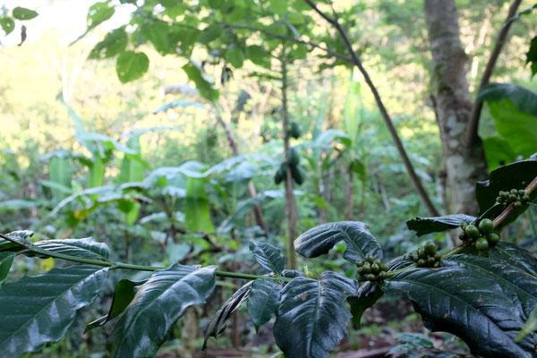 Robusto und Arabica wachsen auf der Plantage