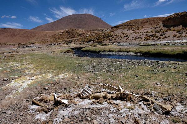 Vikunja Kadaver, Atacama