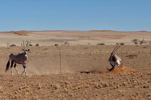 Oryx Fahrt durch Namib