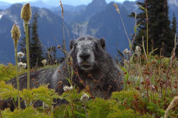 Und täglich grüßt das Murmeltier, Mt. Rainier NP