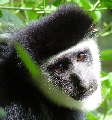Die hübschen langhaarigen Colobus-Affen im Arusha Nationalpark