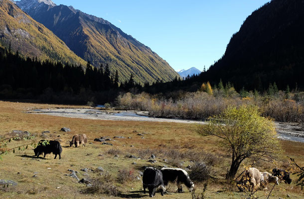 Hochalm mit Yaks, Shuangqiao Valley, Mount Siguniang