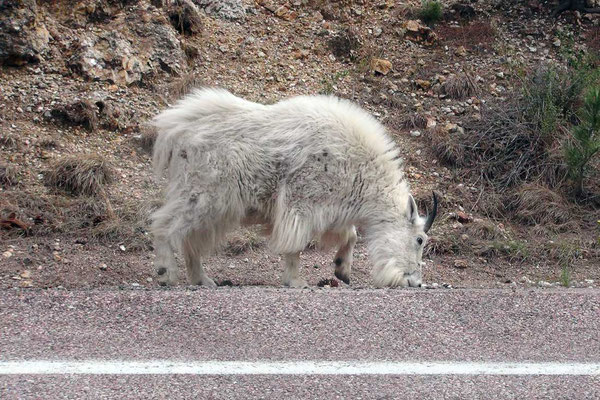 Mountain Goat im Custer State Park