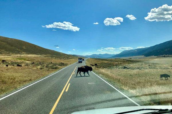 Bisons benutzen auch gerne die Straße, Lamar Valley Yellowstone
