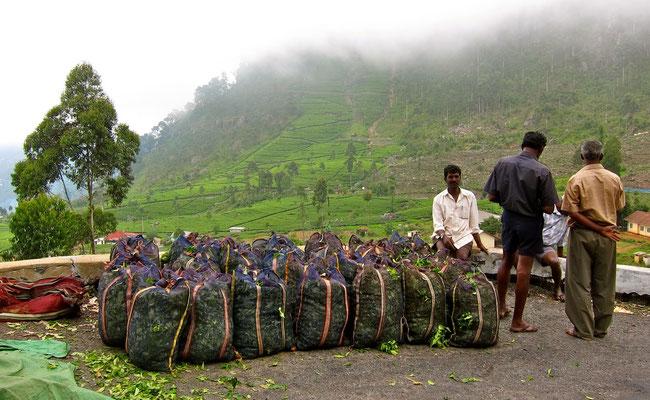 Arbeiter der Dambatenne Tea Factory Sri Lanka
