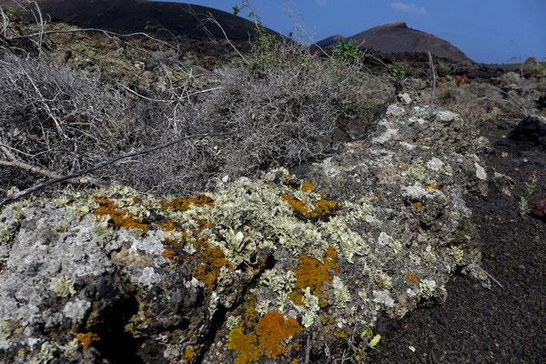 Flechten –Termesana Wanderung Timanfaya Nationalpark