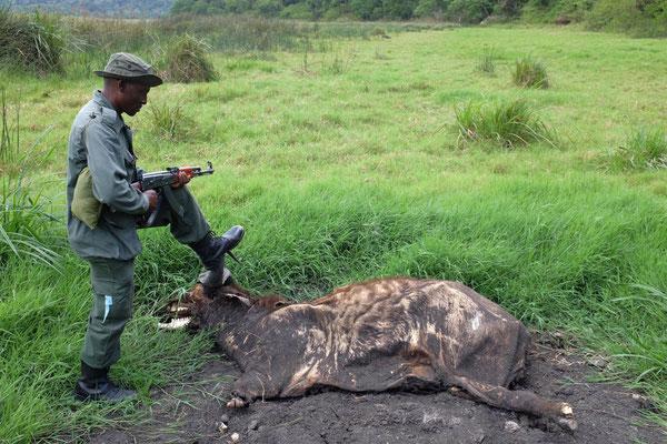 Keine Gefahr von diesem Büffel. Ngurdoto Krater Wanderung, Arusha Nationalpark