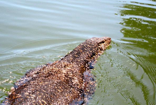 Großer und gefährlicher Wasser-Iguan, Madu Ganga Sri Lanka