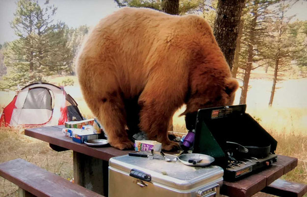 Bärenbesuch auf dem Campignplatz
