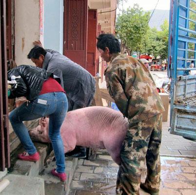 Die erworbene Sau wehrt sich vehement das neue Heim zu betreten, Shaxi Markttag