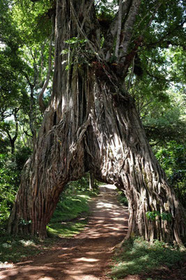 Mount Meru Fig Tree Arch – Arusha Nationalpark