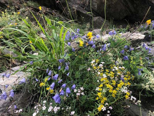 Bergblumen Zermatt