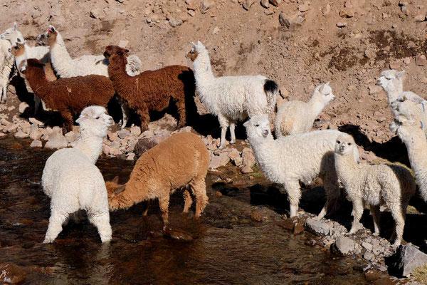 Alpakas im Altiplano