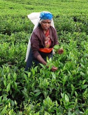 Pflückerin auf der Dambatenne Teeplantage Sri Lanka