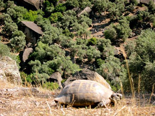 Bergschildkröte im Latmosgebirge Lykischen Küste Türkei