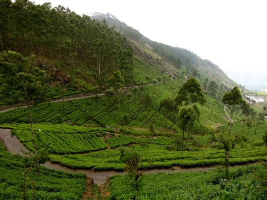 Wanderweg zum Lipton's Seat, Dambatenne Teeplantage, Sri Lanka