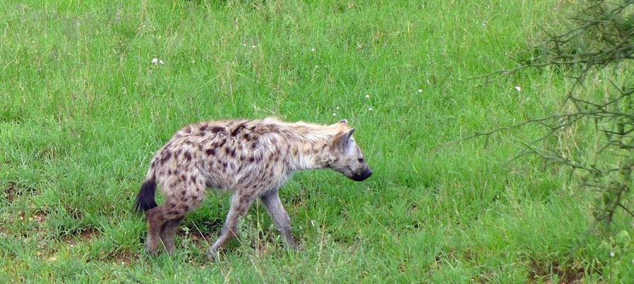 Hyäne Serengeti Tansania