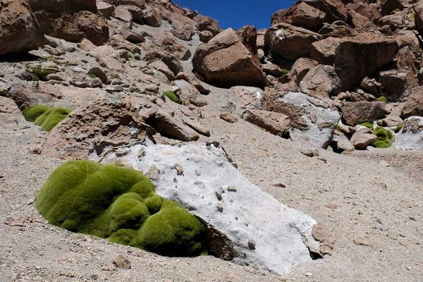 Llareta-Pflanze in der Atacama
