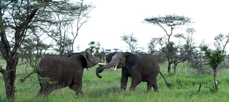 Elefantenkampf in der Serengeti Tansania