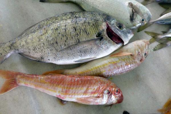 Unser fangfrisches Abendessen vom Fischmarkt in Zadar
