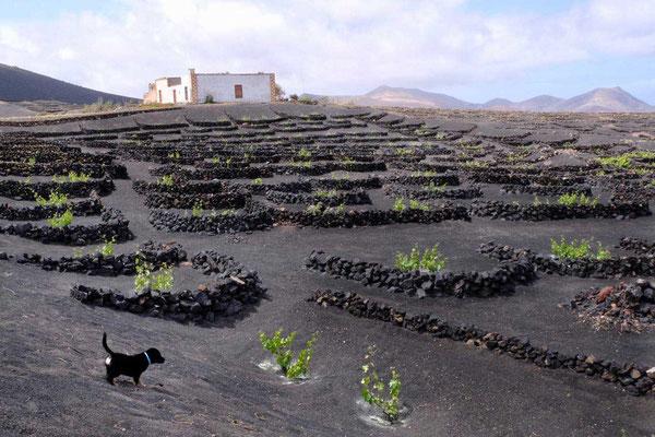 Ausblick vom Restaurant El Chupadero in La Geria Lanzarote