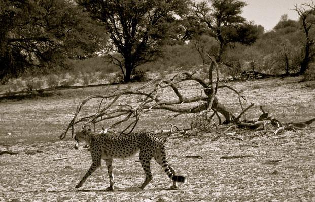 Leoparden im Kgalagadi Transfrontier Park