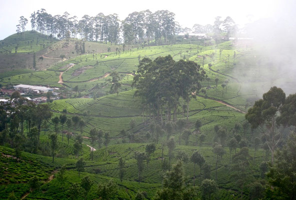 Wanderweg zum Lipton's Seat, Dambatenne Teeplantage