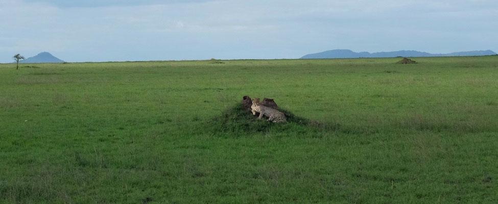 Geparden finden immer ihr Plätzchen in der flachen Serengeti