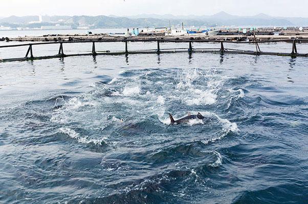 Tuna Farming Experience in Kushimoto