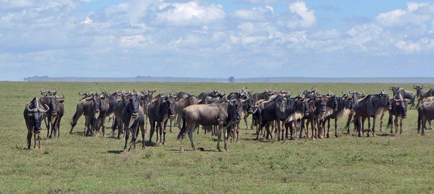 Gnuherde Serengeti Tansania